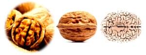 2Walnut-Brain dans similitude entre le corps humain et les légumes